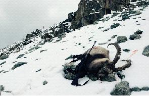ibex hunting in Russia