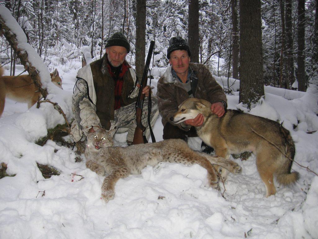 Eurasian Lynx Hunt